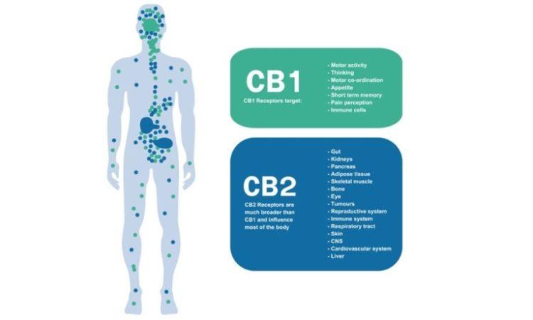 Cannabis, cannabinoids, terpenes