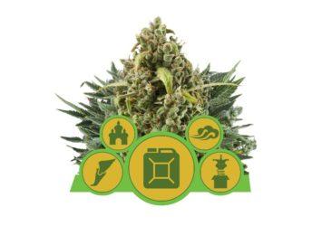 Royal Queen Seeds Autoflower