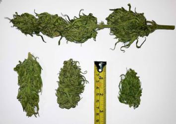 Kompolti CBD flower bulk