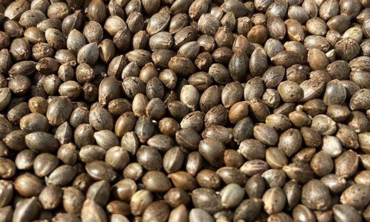 CBG seeds bulk