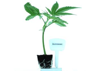 Blackberry THC Clones
