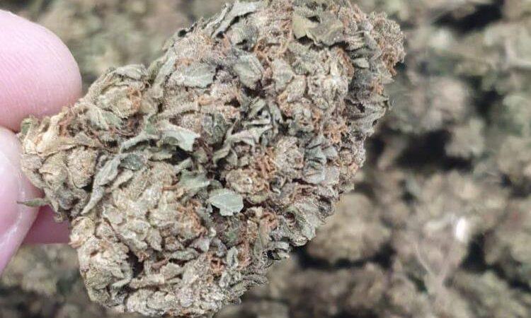 Harlequin CBD flower bulk belgium